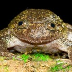 Is it a Frog or a Cat?: Newly Discovered Amphibians in India