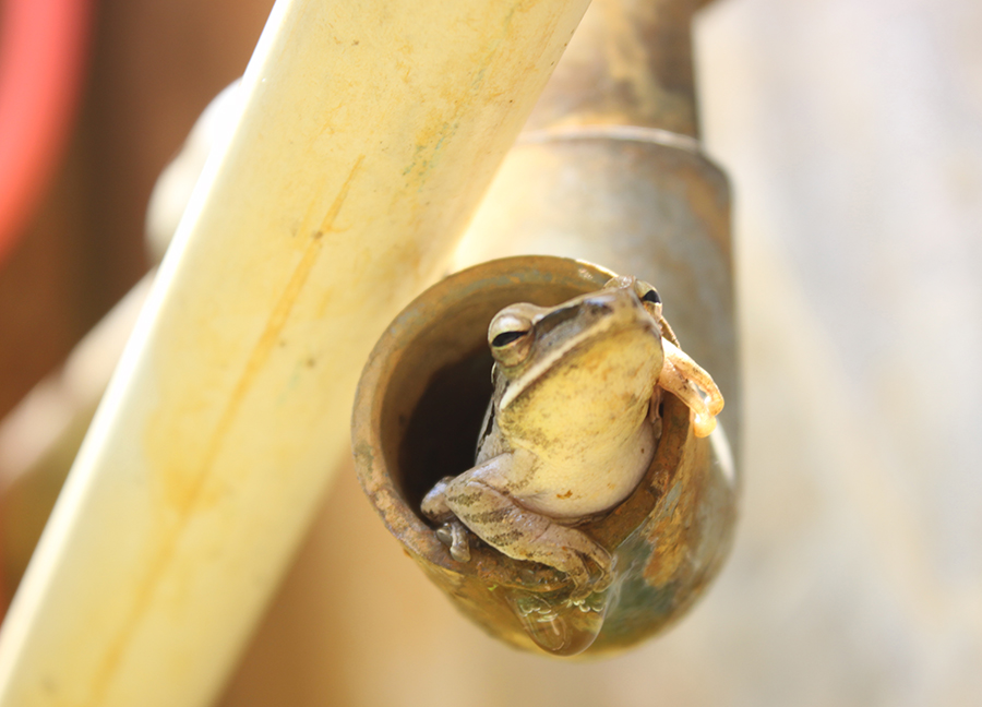 2014 Backyard Frogs, Honorable Mention by Zakiyah Hasanah, age 10 from Indonesia with Frog in a Pipe.