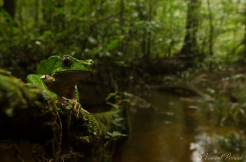 1-Giant Monkey Frog by Vincent Premel