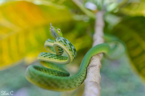 2nd Place, Asian Vine Snake, Ahaetulla Prasina, photographed by Shani Cohen