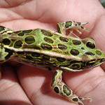 Save Northern Leopard Frogs (and Protect Human Health)