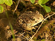 A young, not fully grown Natterjack Toad. Photo by Piet Spaans.