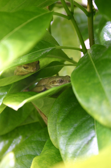 Frogs on leaves. Photo by June Dufour