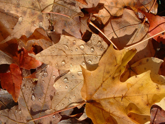 autumn_leaves-325px