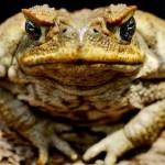 Cane Toads Invade Sundance!