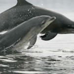 How the Gulf Oil Spill May Harm Dolphins
