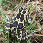 Cape Town's secretive inhabitant and pilot conservation species – the Western Leopard Toad