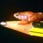 One of the Smallest Frogs in the World Discovered