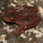 Burned Forests Threaten the Frogs of Madagascar – Guest Post, Franco Andreone