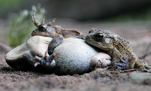 Mourning Frogs in South Carolina by Adam Paine