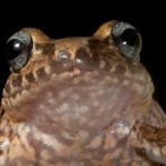 Rediscovering Haiti's Lost Frogs