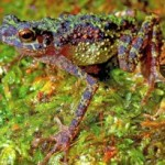 Rare Rainbow Toad Rediscovered after 80 Years