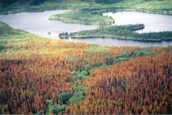 Dead Trees due to Pine Beetle in Bristish Columbia