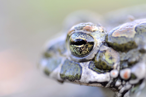 European Green Toad portrait