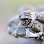 Guest post: Saving Toads in the Czech Republic