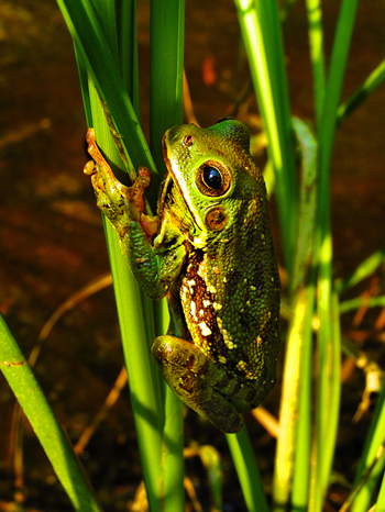Photograph by Sara Viernum, Barking Treefrog holding onto to a reed in a vernal pond in the Talladega National Forest in Northeastern, Alabama.