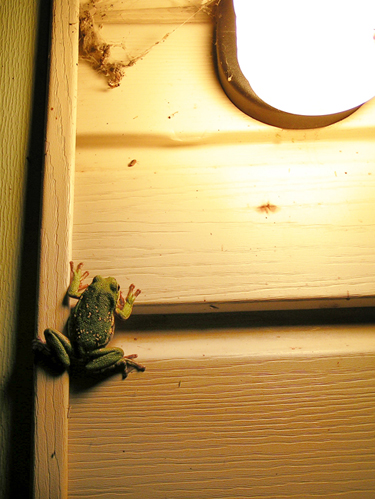 Photograph by Sara Viernum - Barking Treefrog is hunting for insects under the front porch light on a house in Oxford, Alabama.