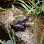 Big Chill Helps Mountain Yellow-Legged Frog