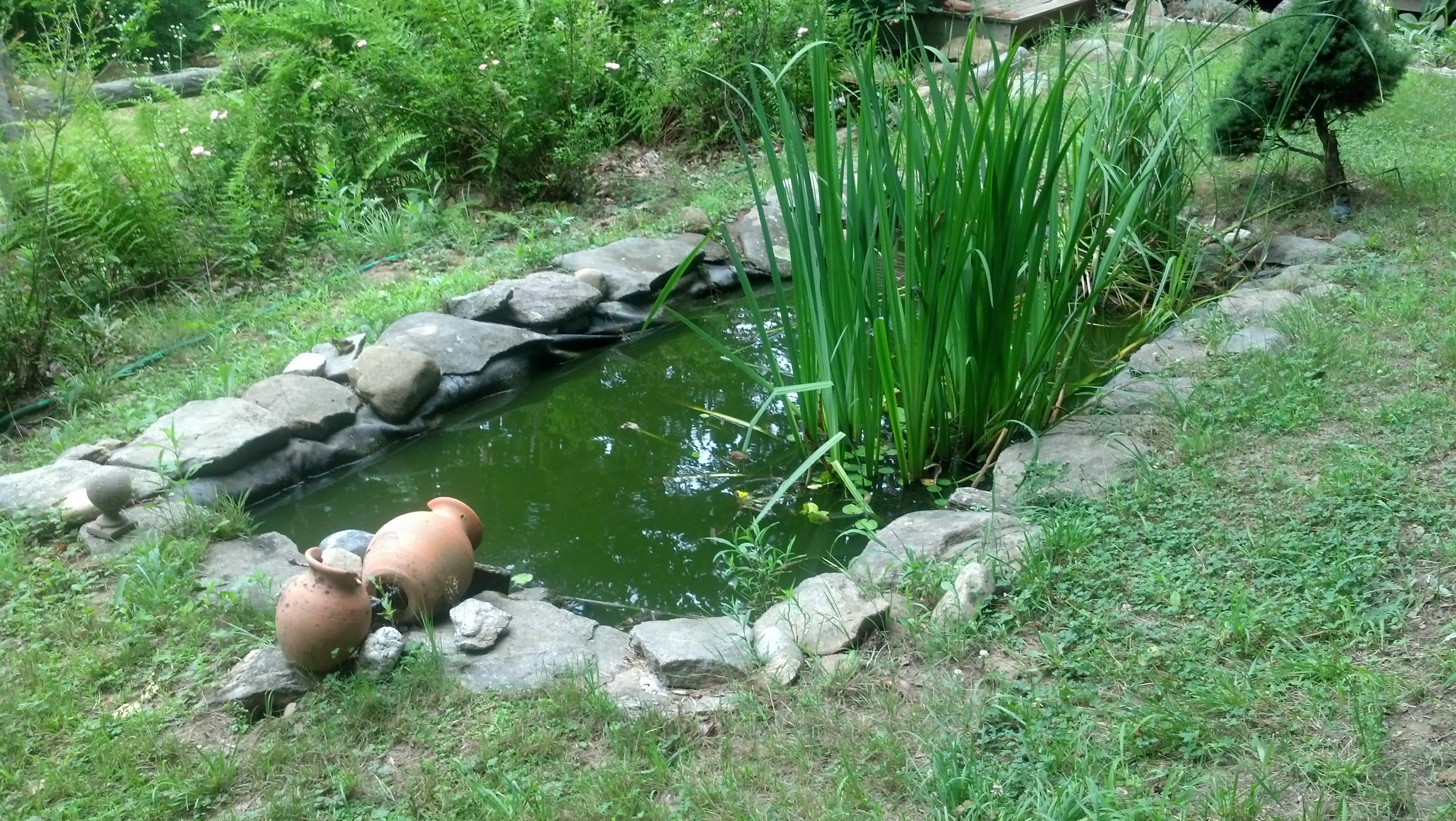 backyard frog pond frogs are green