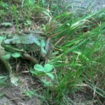 A Green Frog (at Frogs Are Green)