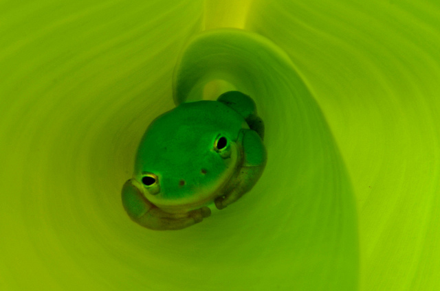 Winner 2012 Frogs Are Green Backyard Frogs Photography Contest - Simply Bananas1