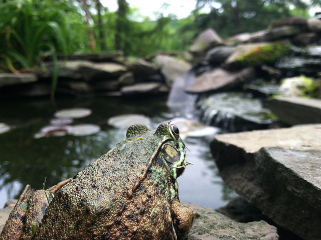 2nd Place 2012 Frogs Are Green Backyard Frogs Photography Contest - Brad Merrell