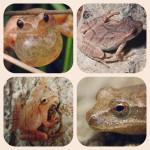 A – Z Frog Species: Spring Peeper – Pseudacris crucifer