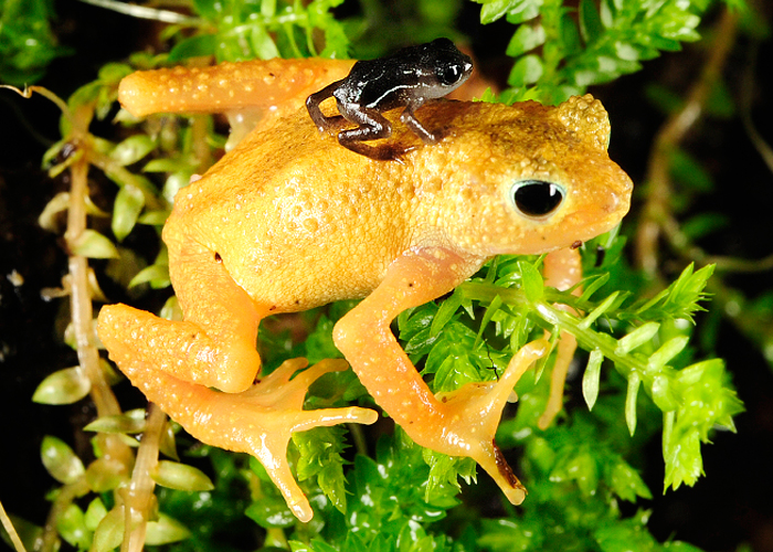 Female Kihansi Spray Toad with her young toadlet. Courtesy of the Wildlife Conservation Society. Photo: Julie Larsen Maher