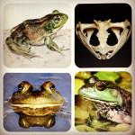 A – Z Frog Species: American Bullfrog (Rana catesbeiana)