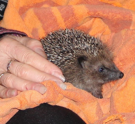 Hedgehog named Pepper in new zealand