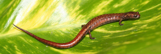save the salamanders