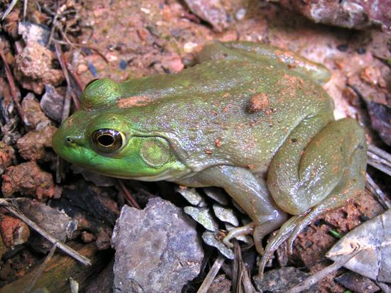 Bullfrog by Sara Viernum