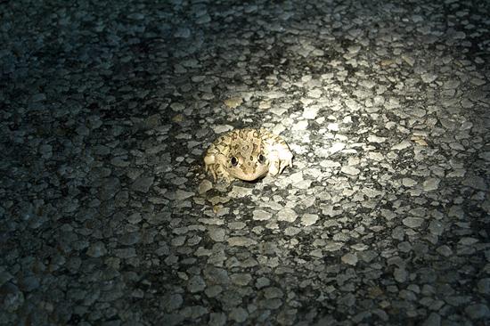 Rio Grande Leopard Frog by Sara Viernum