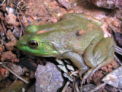 bullfrog image