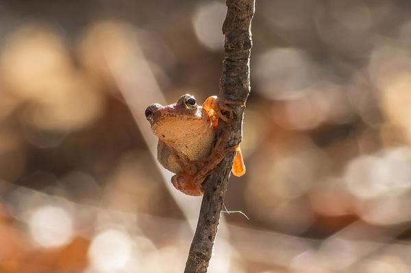1st winner - wesrule2601 - peeper frog