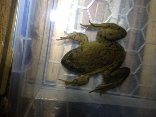 bullfrog rescued in winter MA