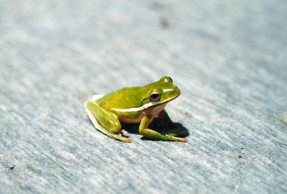 frog by david veljacic