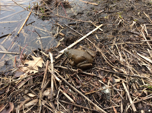 bullfrog returns to pond after winter rescue