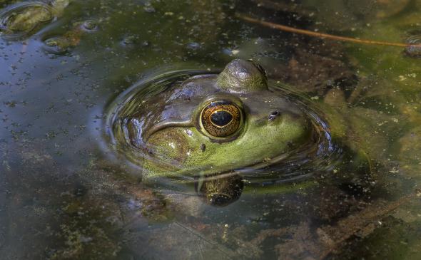 American-Bullfrog-by-Wes-Deyton