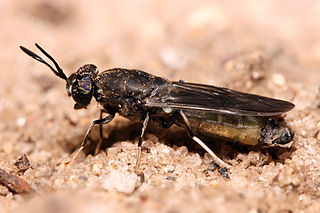 320px-Hermetia_illucens_Black_soldier_fly_edit1