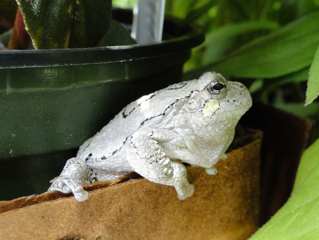 Gray-Tree-Frog-by-M-Patterson