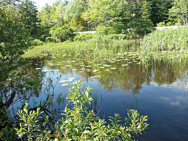 Frog pond by Eagle lake in Acadia National Park, Mount Desert Island, Maine. Photo by JR Libby.