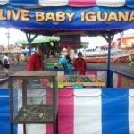 Baby Iguanas As Prizes?