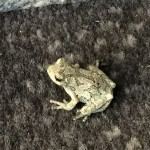 Bullfrogs, Toads and Grey Tree Frogs in Massachusetts