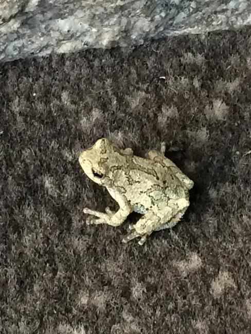 Grey Tree Frog in Massachusetts by Jack Stearns
