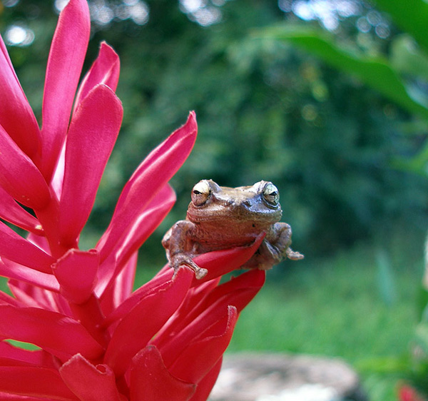 coqui frog in Hawaii