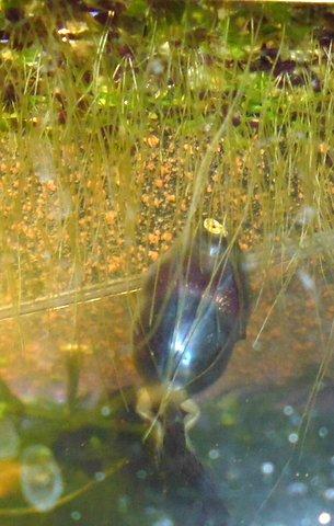 Pobblebonk frogs Australia