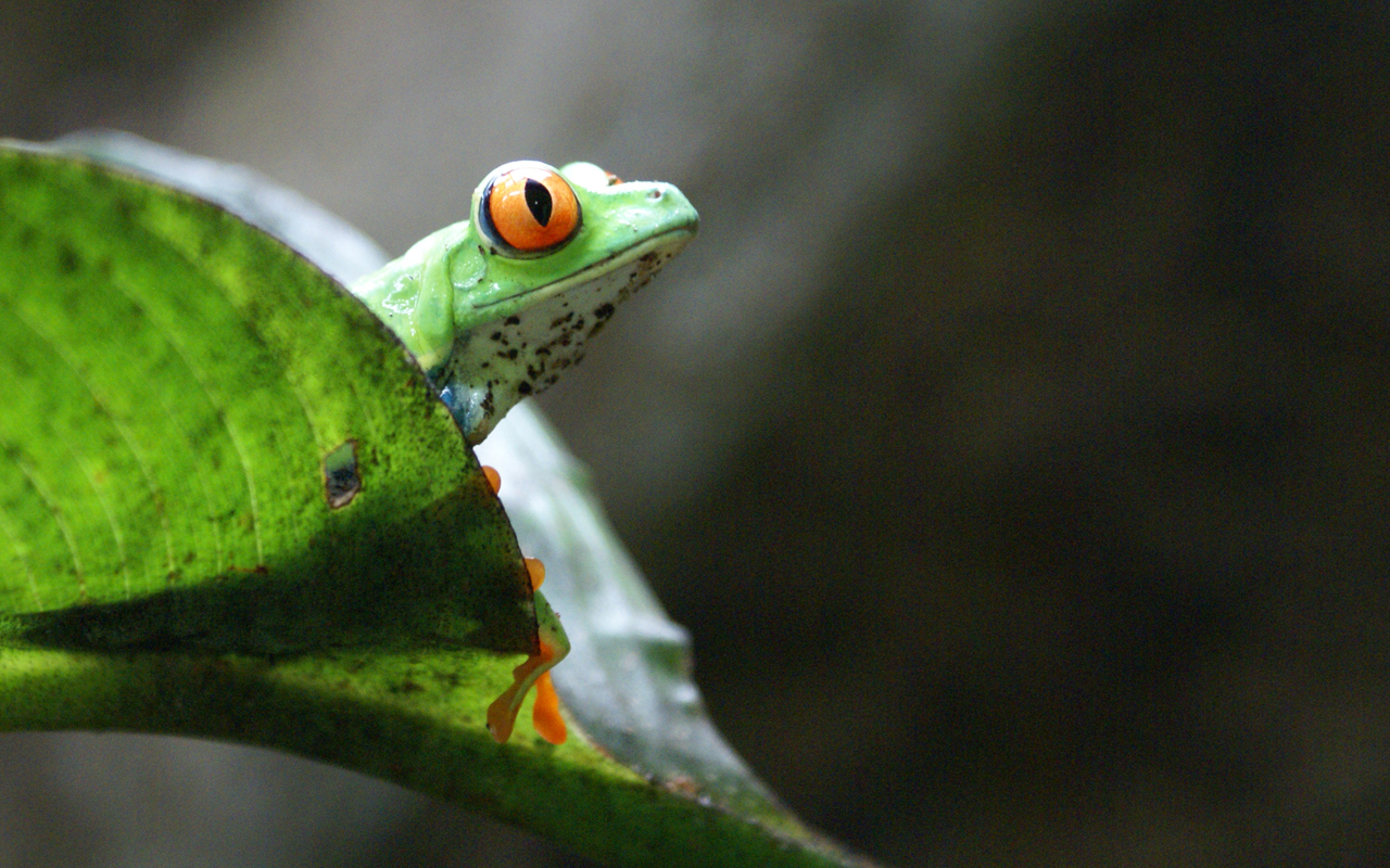 2014 Backyard Frogs, 1st place Winner, Costa Rican Frog photographed by Chela Crinnion of New York