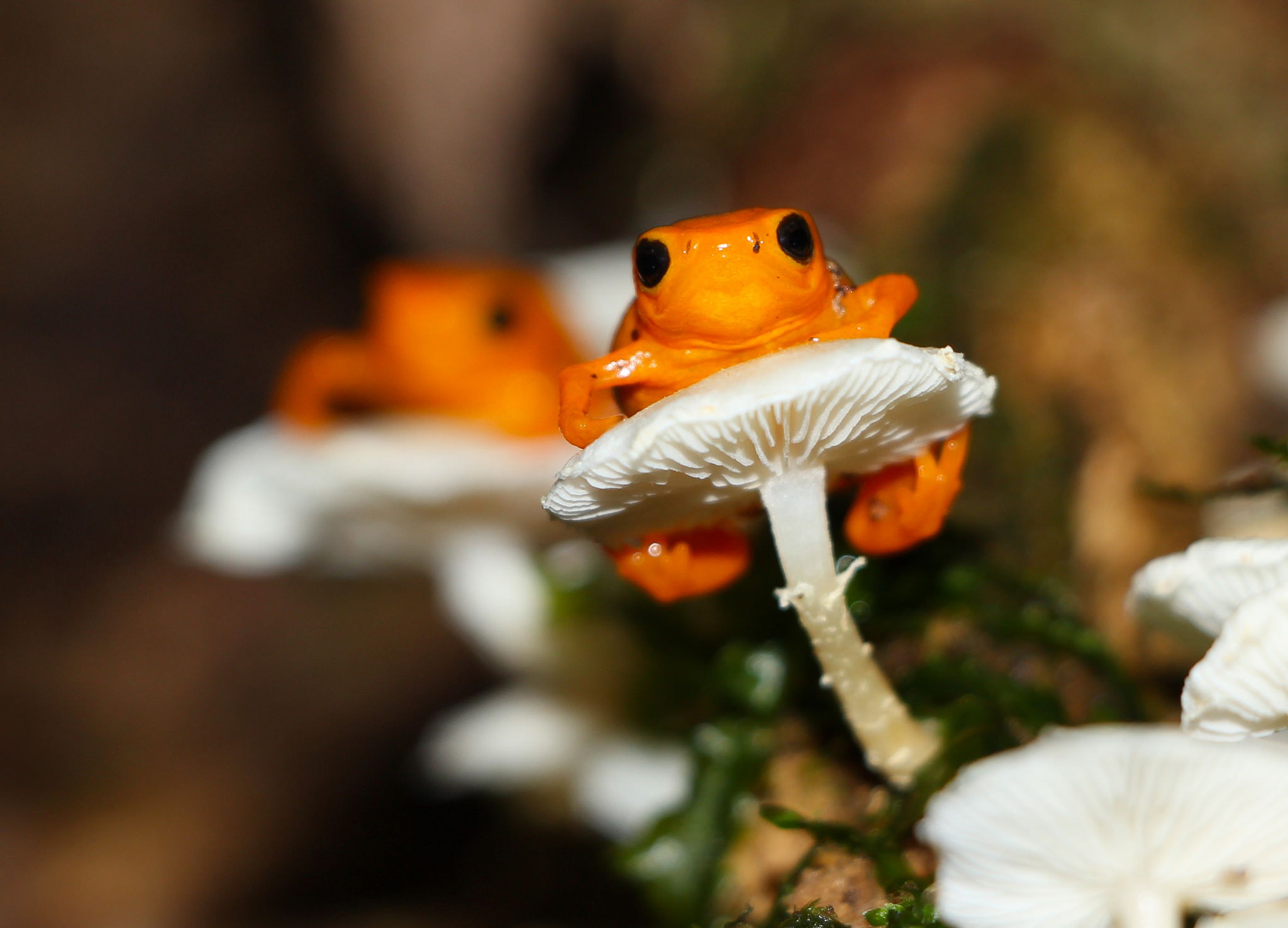 2014 Backyard Frogs, 3rd place winner, Golden Droplet Frog by Christian Spencer.