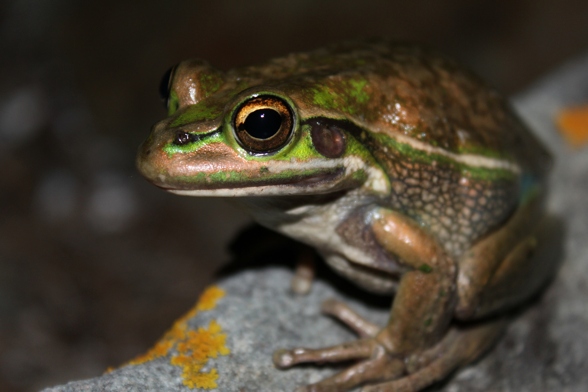 2014 Frogs in the Wild, Honorable Mention, green and golden bell frog by Chad Beranek, Australia.